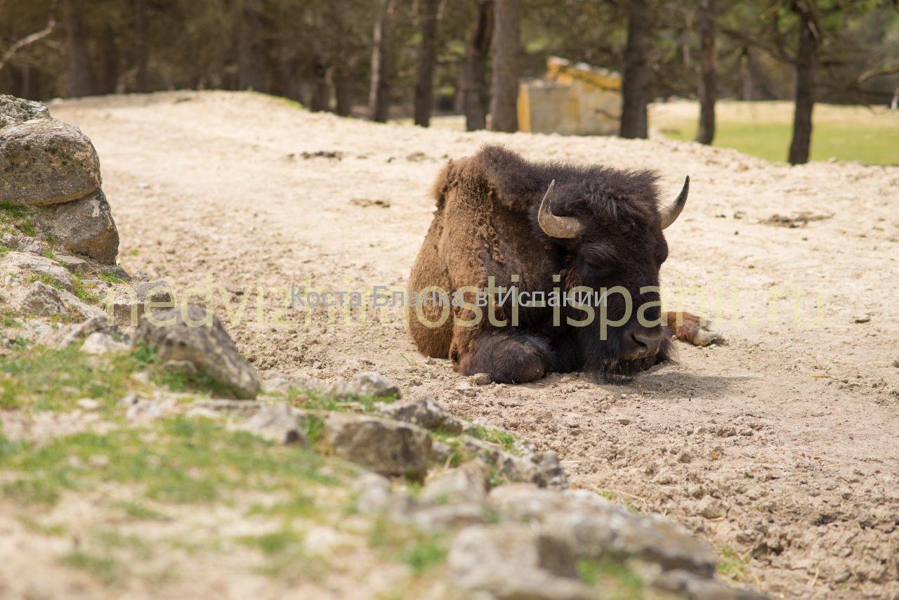 bufalo3