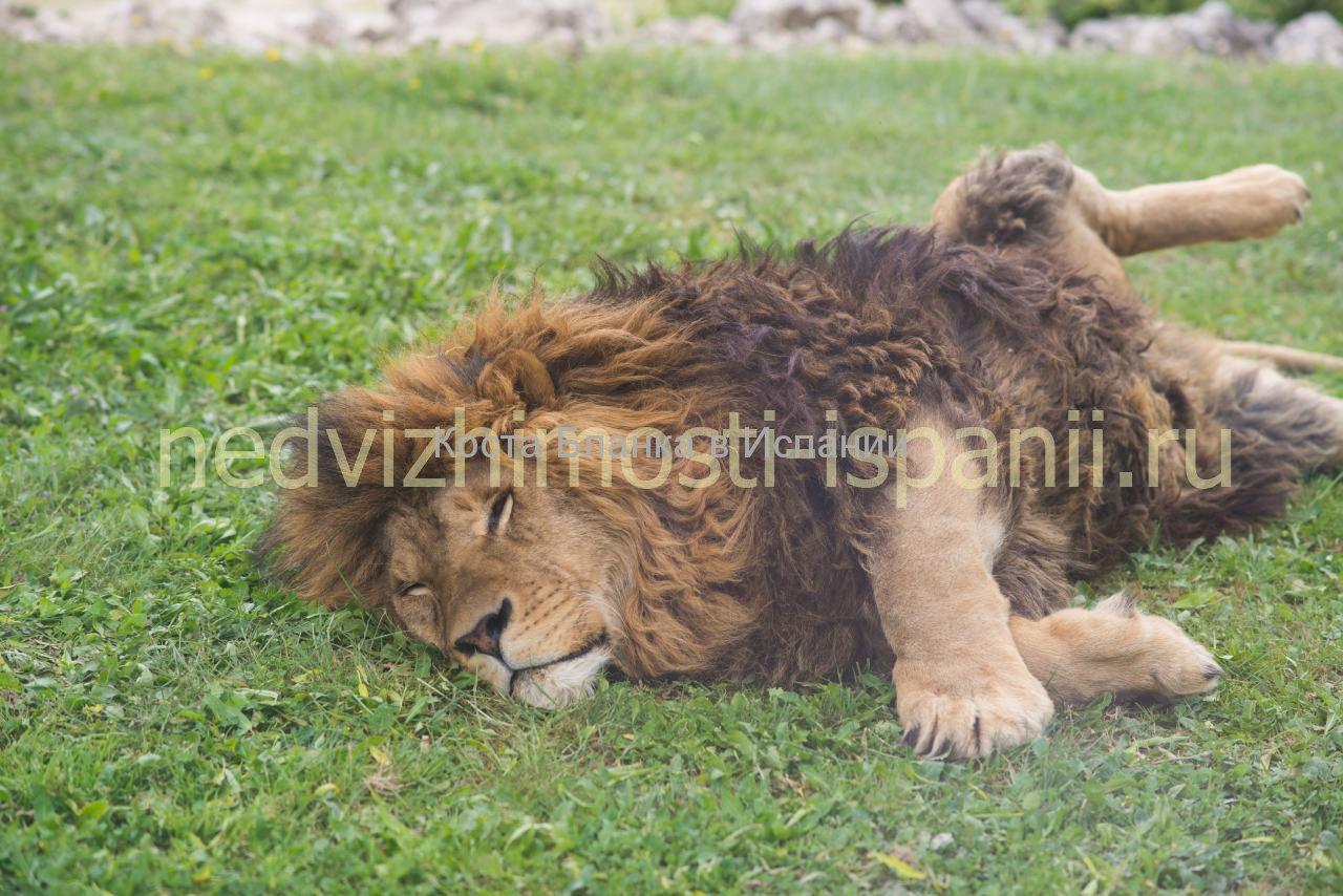 Лев в сафари парке Айтана в Испании