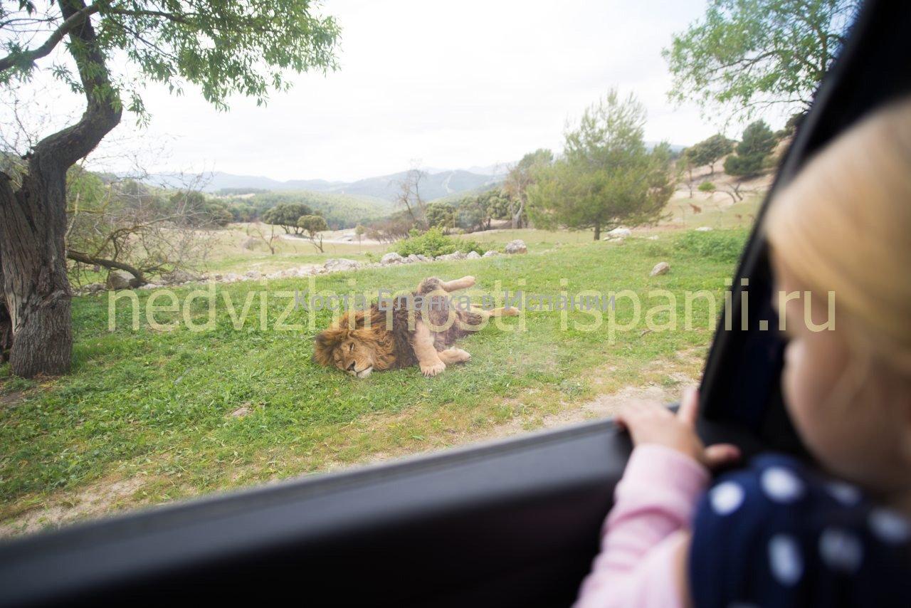 Лев в парке Айтана, Коста Бланка
