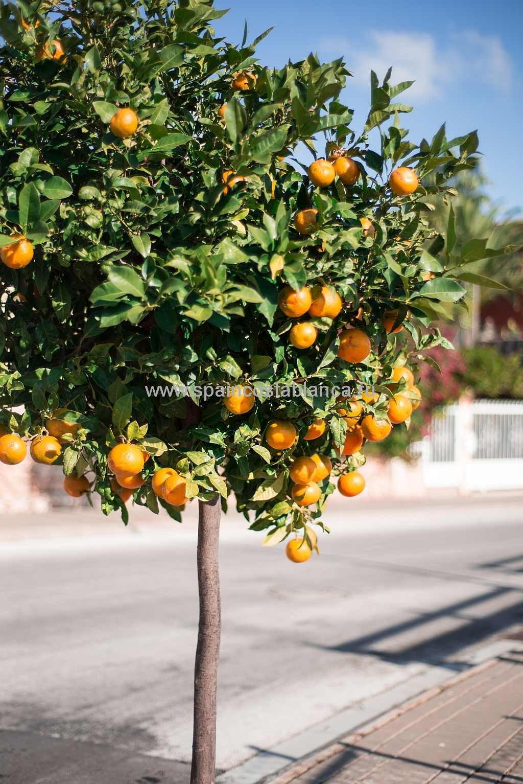 Апельсиновое дерево в Испании